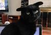 Кот с необычными ушами
