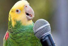 Папуга співає