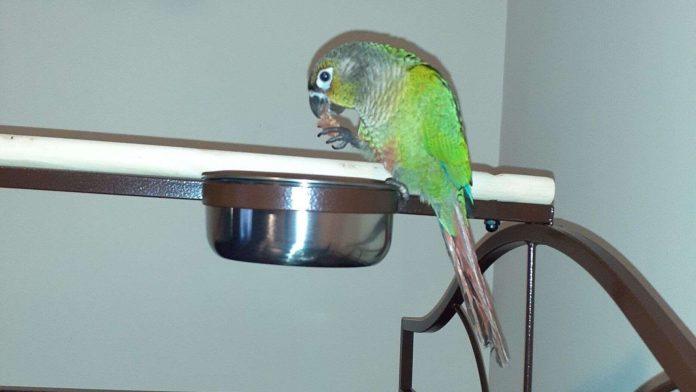 Папуга Луї