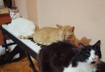 Коты-пианисты