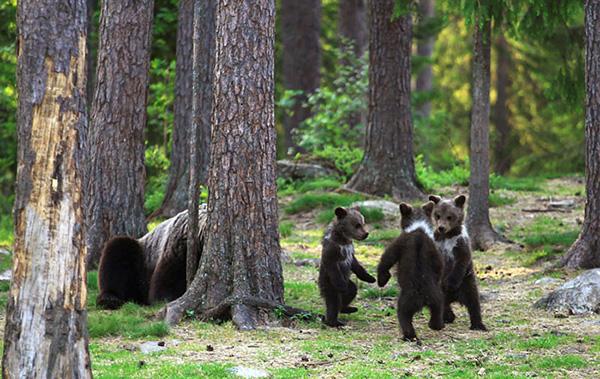 Ведмеді граються