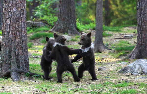 Дійсно дикі танці