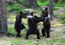 Ведмежата танцюють у лісі