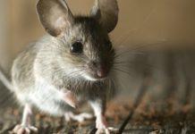 Хантавірус - захворювання тварин