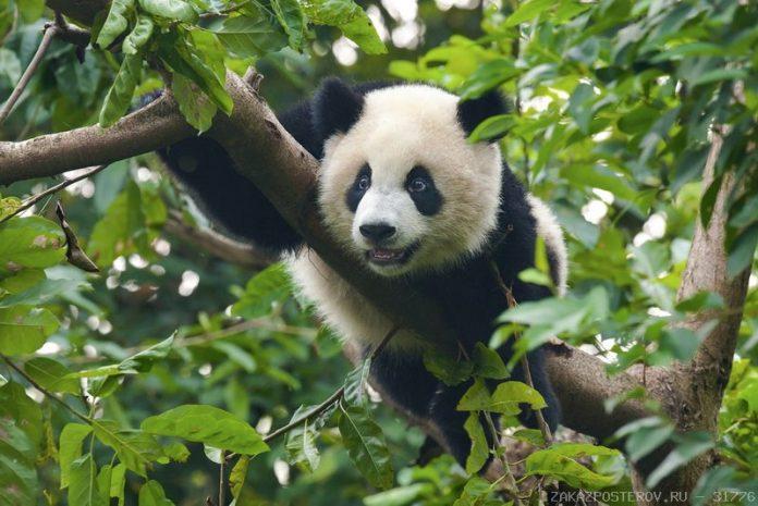 голова панди