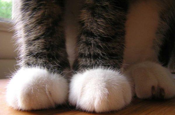 Котячі лапи