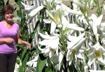 Лілія - квітка на всі часи
