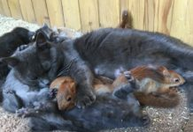 Кошка кормит своих малышей