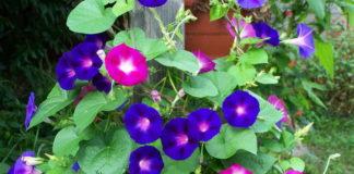 Кручений панич имеет незабываемые расцветки