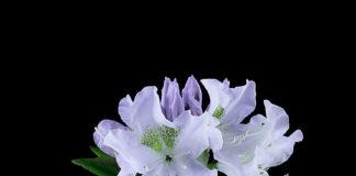 Білий Рододендрон