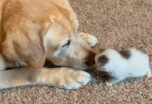 Собака всиновила кошеня