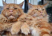 Кіт породи мейн-кун розсмішив соціальні мережі