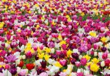 Море тюльпанів