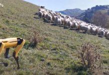 Робот Spot пасе вівці