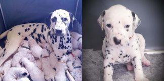 Собака народила 18 цуценят