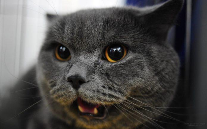 Кіт кличе господиню