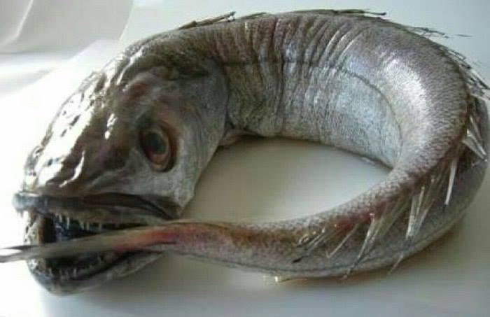 Рыба хек