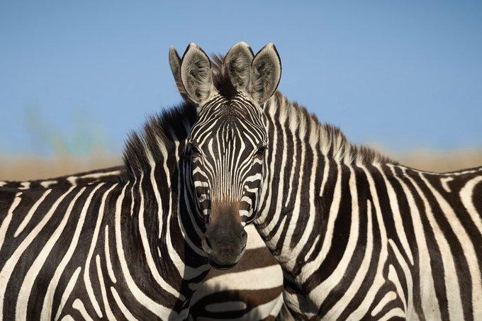 Какая зебра впереди?