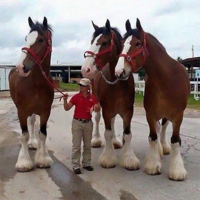 Гигантские лошадки