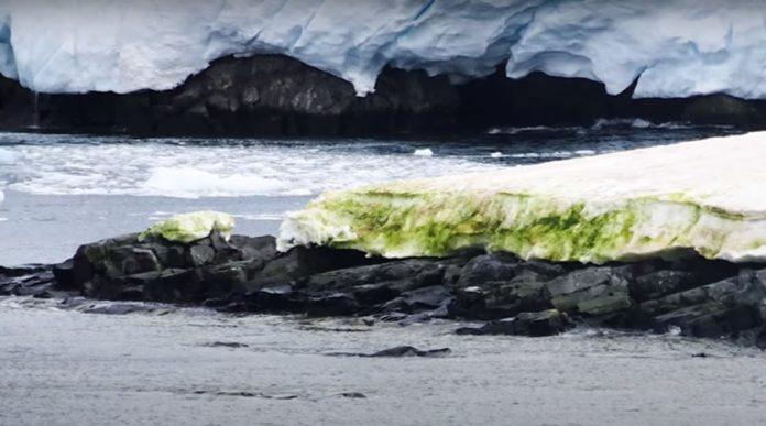 Арктика зеленіє