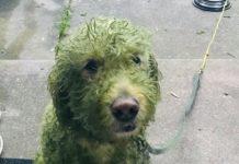 Пофарбована собака