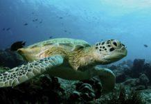 Зелена морська черепаха