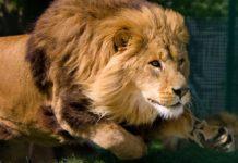 Лев на полюванні