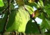 Лондонские попугаи