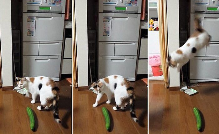 Кошка и огурец