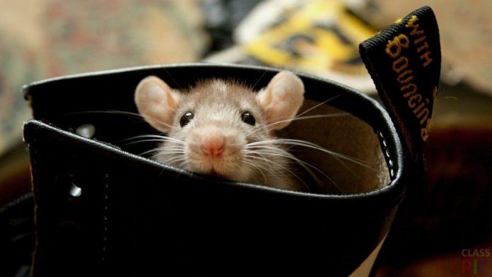 Чоловік знайшов мишей у вівсянці
