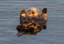 Американським фотографам вдалося зробити рідкісний знімок морської видри