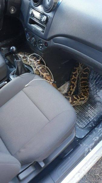 У харківському таксі несподівано знайшли пітона
