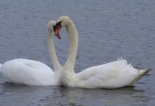 Воссоединение лебедей