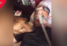 Пес не отходит от больного хозяина