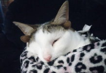 Необычный кот с четырьмя ушами