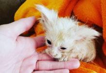 Брошенный котенок превратился красивую кошку