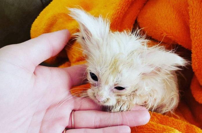 Покинуте кошеня перетворилося на красиву кішку