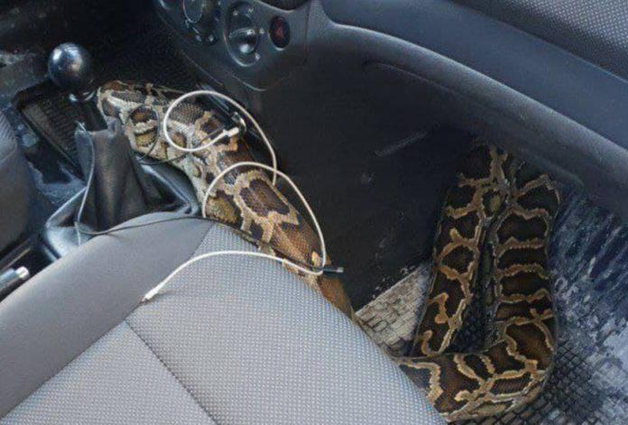 Пітон в таксі