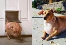 Хозяева раскормили собаку так, что она с трудом передвигалась