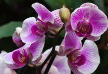 Орхидея - секреты  ухода, чтобы получить красивые цветения