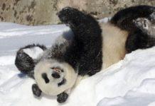 Панда делает сальто