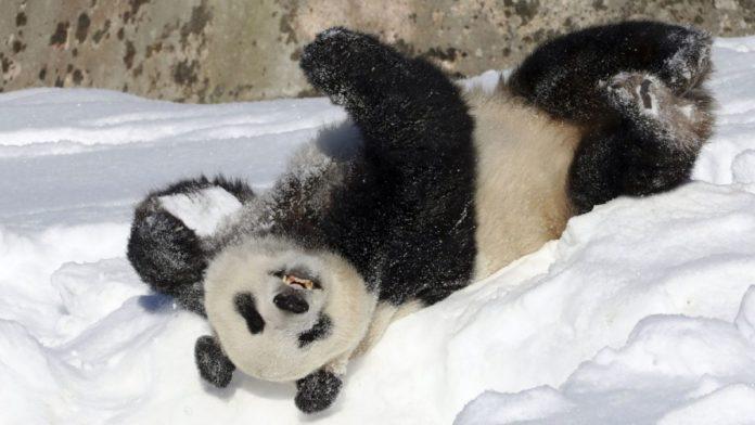 Панда робить сальто