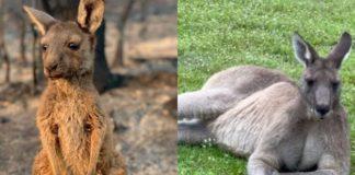 Як змінилися австралійські кенгуру через рік після пожеж?