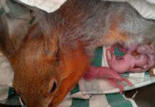 Мама з новонародженими білченяти
