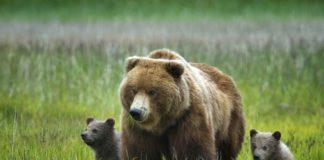 Ведмедиця з ведмежатами