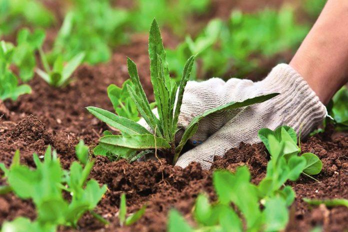 Бур'яни на городі