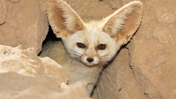 карликова лисиця