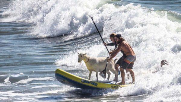 Коза катається по хвилях на дошці