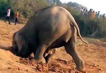 Слониха роет яму
