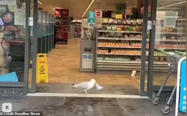 Реальная история - птица украла сэндвич из магазина и стала звездой сети
